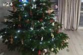 Choinki Jodła Kaukaska Drzewka Bożonarodzeniowe